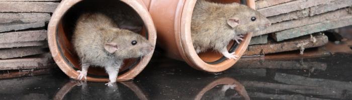 Rattentrichter / Rattensperre