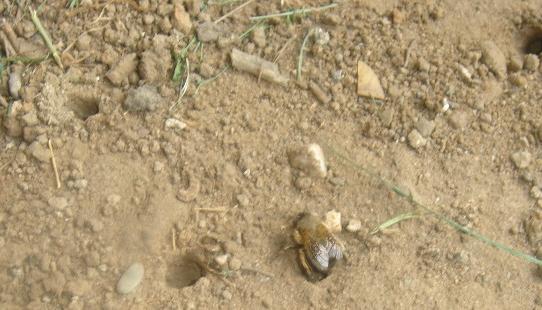 Trug- und Zottelbienen Nesteingang